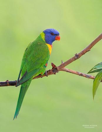 Rainbow Lorikeet, Tallai, QLD, Aus, April 2013-12 copy