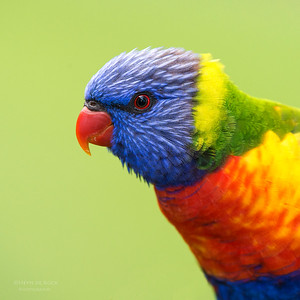 Rainbow Lorikeet, Tallai, QLD, Aus, April 2013