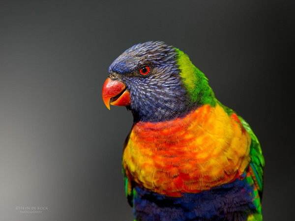 Rainbow Lorikeet, Tallai, QLD, September 2016