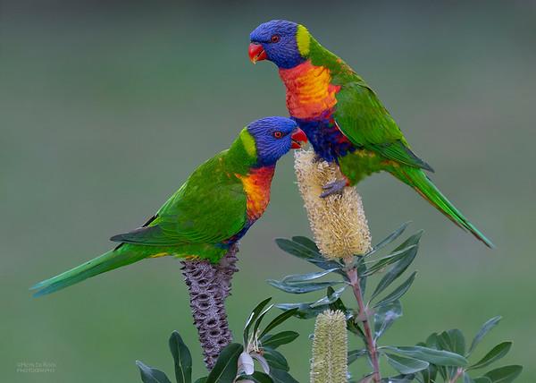 Rainbow Lorikeet, Tallai, QLD, June 2018-3