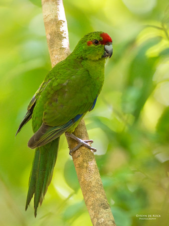 Red-crowed Parakeet, Tiritiri Matangi, NZ, March 2015