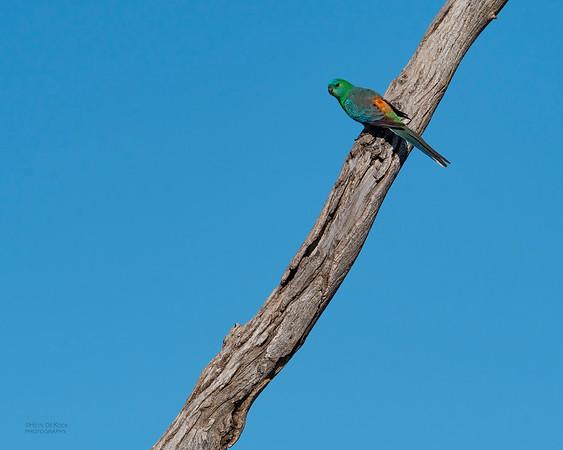 Red-rumped Parrot, Lake Cargelligo, NSW, Aus, Oct 2018-1