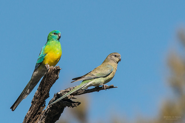 Red-rumped Parrots, Hay, NSW, Aus, Aug 2012