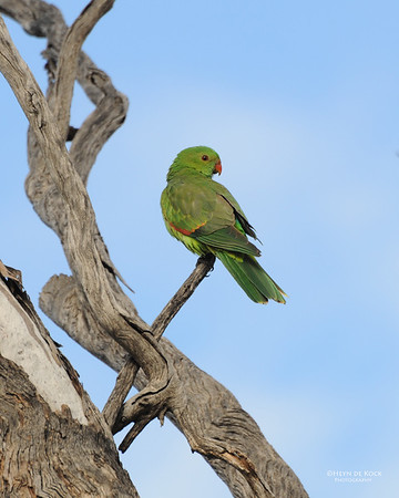 Red-winged Parrot, Bowra, QLD, Jul 2014