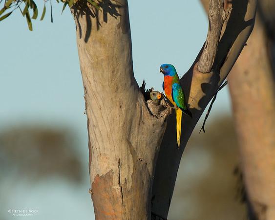 Scarlet-chested Parrot, Gluepot, SA, Aus, Nov 2014-1