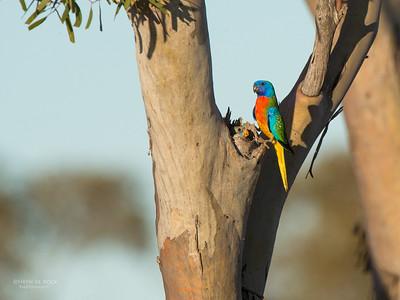 Scarlet-chested Parrot, Gluepot, SA, Aus, Nov 2014-5