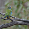 Scarlet-chested Parrot, fledgeling, Gluepot, SA, Oct 2011-1