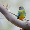 Scarlet-chested Parrot, imm, Gluepot, SA, Aus, Oct 2011-2
