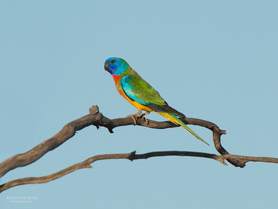 Scarlet-chested Parrot, Gluepot, SA, Aus, Nov 2014-4