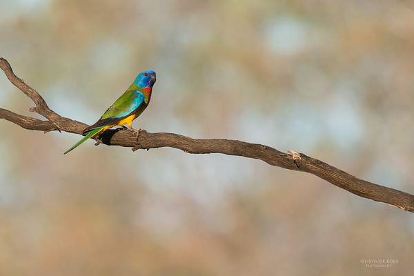 Scarlet-chested Parrot, Gluepot, SA, Aus, Nov 2014