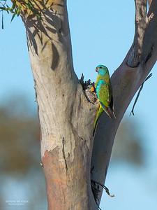 Scarlet-chested Parrot, f, Gluepot, SA, Aus, Nov 2014-3