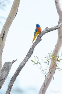 Scarlet-chested Parrot, Gluepot, SA, Aus, Nov 2014-2