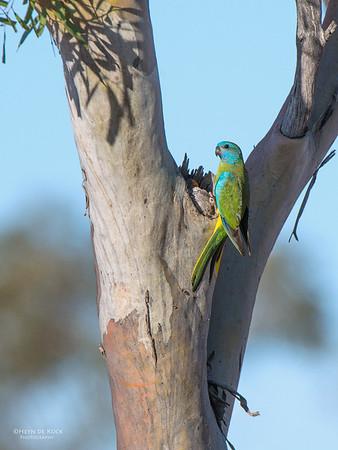 Scarlet-chested Parrot, f, Gluepot, SA, Aus, Nov 2014-5