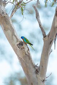 Scarlet-chested Parrot, Gluepot, SA, Aus, Nov 2014-3