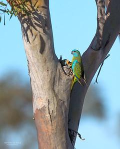 Scarlet-chested Parrot, f, Gluepot, SA, Aus, Nov 2014-4