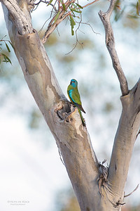 Scarlet-chested Parrot, f, Gluepot, SA, Aus, Nov 2014-1 copy