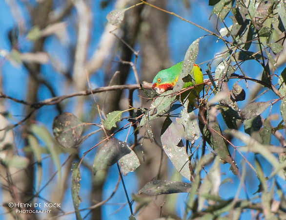 Swift Parrot, Mulgoa NR, NSW, Aug 2013-3