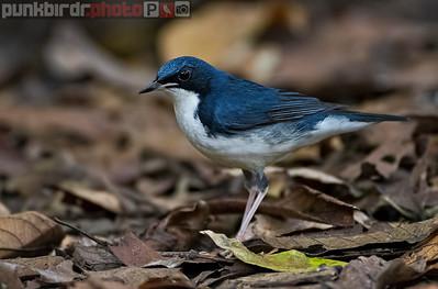 Siberian Blue Robin (Larvivora cyane)