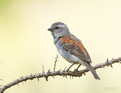 Cape Sparrow, f, Hobhouse, FS, SA, Jan 2014
