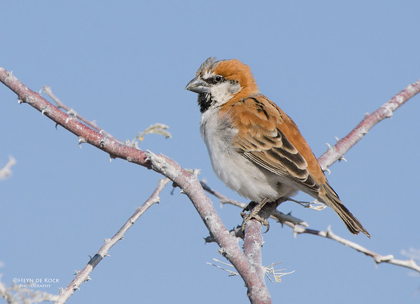 Great Sparrow, Etosha, Namibia, Jul 2011