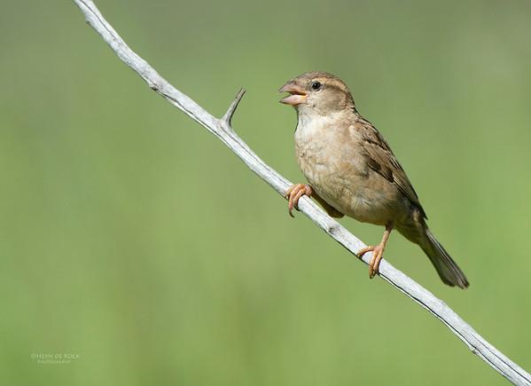House Sparrow, f, Hobhouse, FS, SA, Dec 2013
