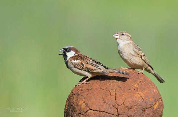 House Sparrow, Hobhouse, FS, SA, Dec 2013