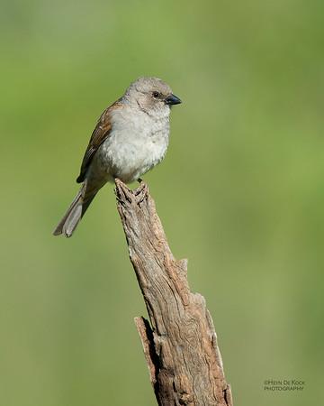 Southern Grey-headed Sparrow, Hobhouse, FS, SA, Dec 2013