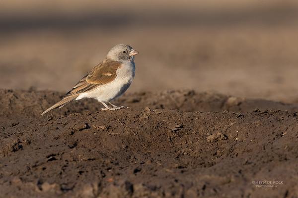 Southern Grey-headed Sparrow, Mashatu GR, Botswana, May 2017-4