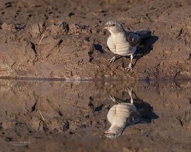 Southern Grey-headed Sparrow, Mashatu GR, Botswana, May 2017-5