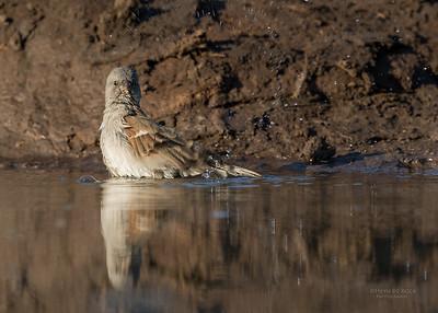 Southern Grey-headed Sparrow, Mashatu GR, Botswana, May 2017-3