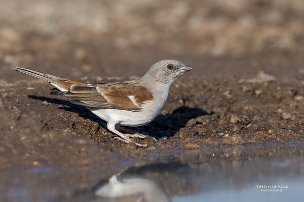 Southern Grey-headed Sparrow, Mashatu GR, Botswana, May 2017-1