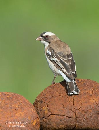 White-browed Sparrow-Weaver, Hobhouse, FS, SA, Dec 2013-1