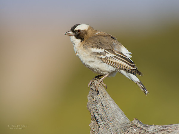 White-browed Sparrow-weaver, Hobhouse, FS, SA, Sept 2015