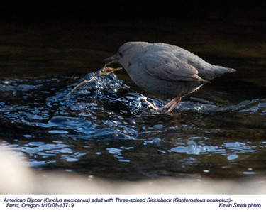 AmericanDipper-Fish13719