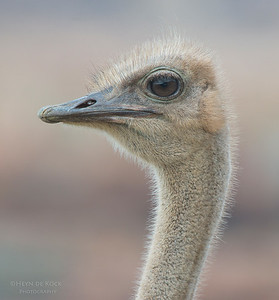 Ostrich, f, Table Mountain NP, WC, SA, Jan 2014