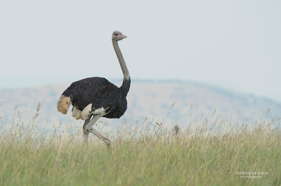 Ostrich, Willem Pretorius NR, FS, SA, Dec 2014