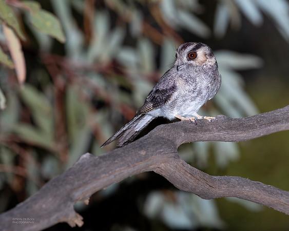Australian Owlet-nightjar, Round Hill NR, NSW, Oct 2018-1