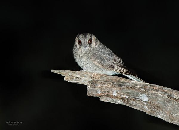 Australian Owlet-nightjar, Hattah-Kulkyne NP, VIC, Aus, Aug 2012