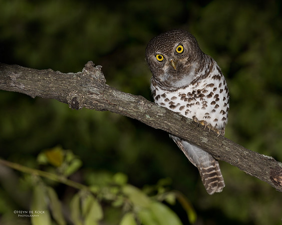 African Barred Owlet, Sabi Sands (EP), SA, Oct 2016-2