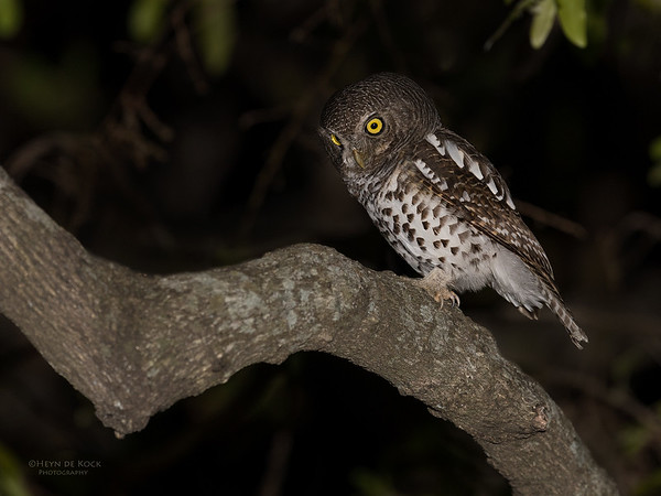 African Barred Owlet, Sabi Sands (EP), SA, Oct 2016-4