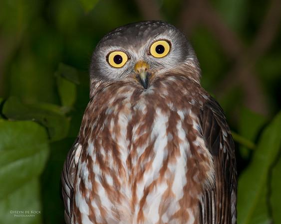 Barking Owl, Darwin, NT, Sept 2010