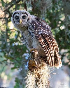 Barred Owl, juv, Circle B Bar, Lakeland, FL, USA, May 2018-3