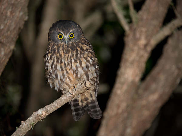 Morepork, Tiritiri Matangi, NZ, March 2015