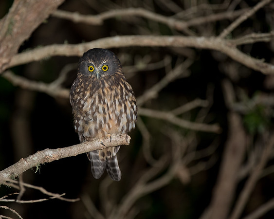 Morepork, Tiritiri Matangi, NZ, March 2015-1