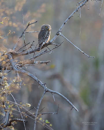 Pearl-spotted Owlet, Sabi Sands (EP), SA, Oct 2016-2