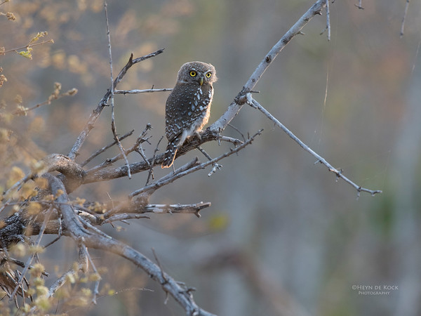Pearl-spotted Owlet, Sabi Sands (EP), SA, Oct 2016-1 copy