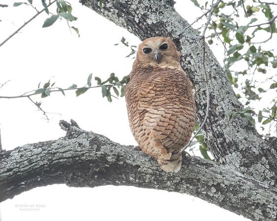 Pel's Fishing Owl, Eagle Island, Okavango Delta, Botswana, May 2017-3