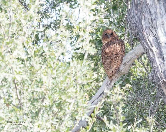 Pel's Fishing Owl, Eagle Island, Okavango Delta, Botswana, May 2017-1