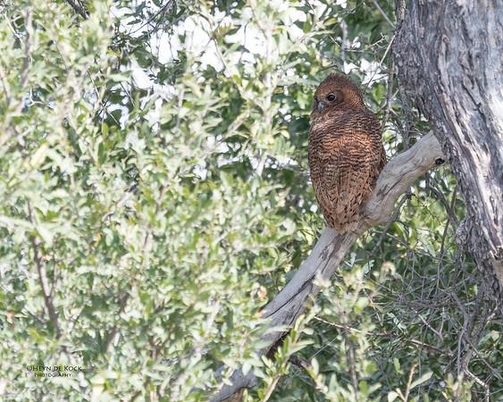 Pel's Fishing Owl, Eagle Island, Okavango Delta, Botswana, May 2017-2