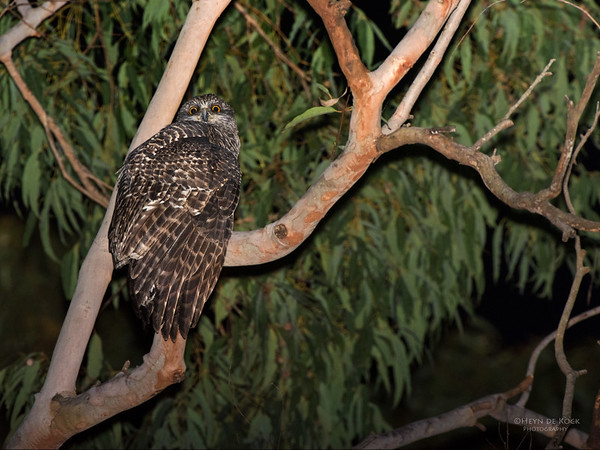 Powerful Owl, Thornleigh, NSW, May 2015